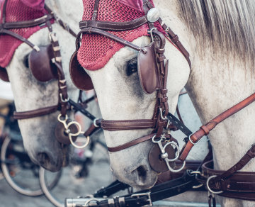 Two Lipizzaner horses as draft horses of a carriage.