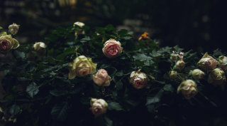 Blühende Rosen im Innenhof des Grand Ferdinand.